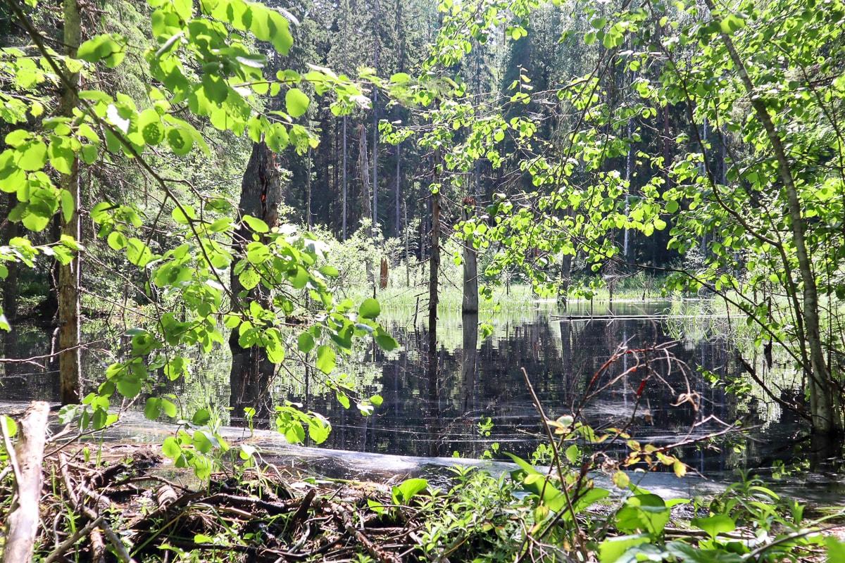 Majavapolku Isojärven kansallispuistossa: majavia, maisemia ja leveää tietä